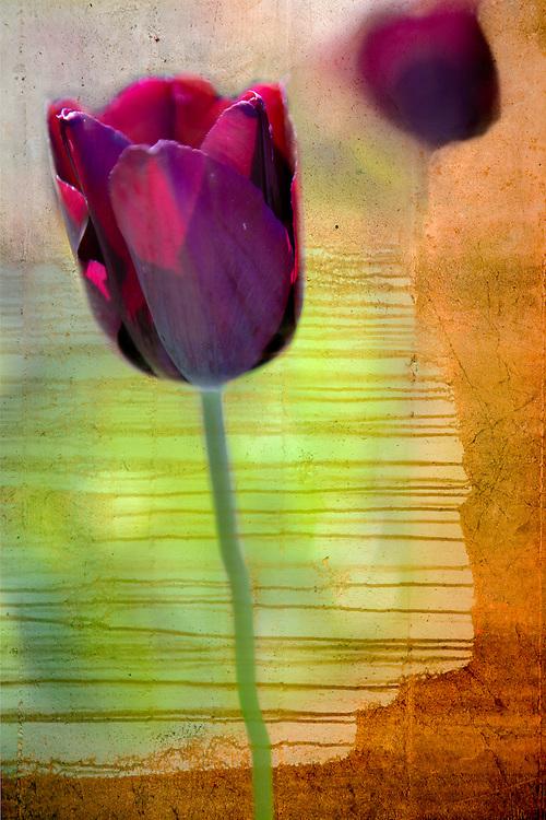 tulips mixed media