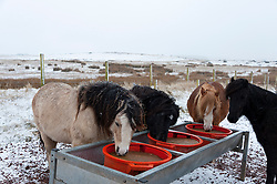 © Licensed to London News Pictures. 11/02/2017. Mynydd Epynt, Powys, UK. Welsh ponies are seen feeding in the winter landscape on the high moorland of the Mynydd Epynt range. Photo credit: Graham M. Lawrence/LNP