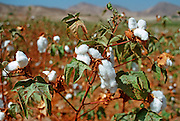 PERU, SOUTH COAST cotton fields near the city of Ica,  300 miles south of Lima along the southern coast