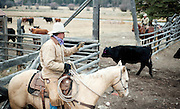 PRICE CHAMBERS / NEWS&amp;GUIDE<br /> Chase Lockhart takes a head count after the family herds their steers into a corral on Friday.