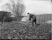 1960 - Gardening scenes at Mr Alvey's, Clontarf, Dublin