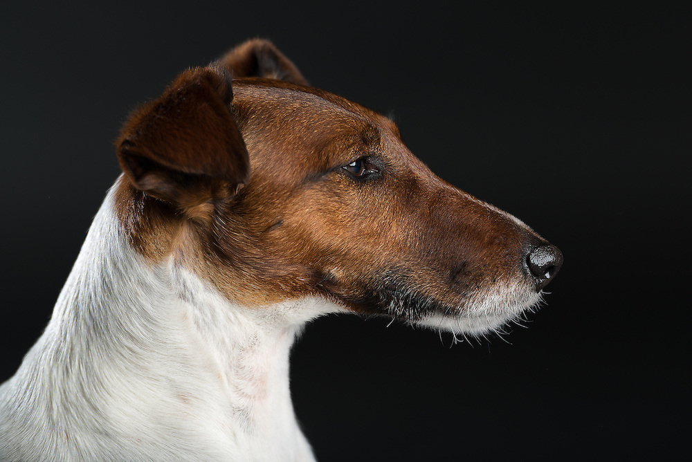 Fine Art honden fotografie Fox Terrier in studio