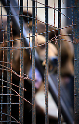 ROMANIA ONESTI 26OCT12 -  A Eurasian brown bear displays disturbed behaviour by gnawing the iron bars in his cage at the Onesti zoo. The zoo has been officially shut down due to non-adherence with EU regulations on the welfare of animals.....jre/Photo by Jiri Rezac / WSPA....© Jiri Rezac 2012