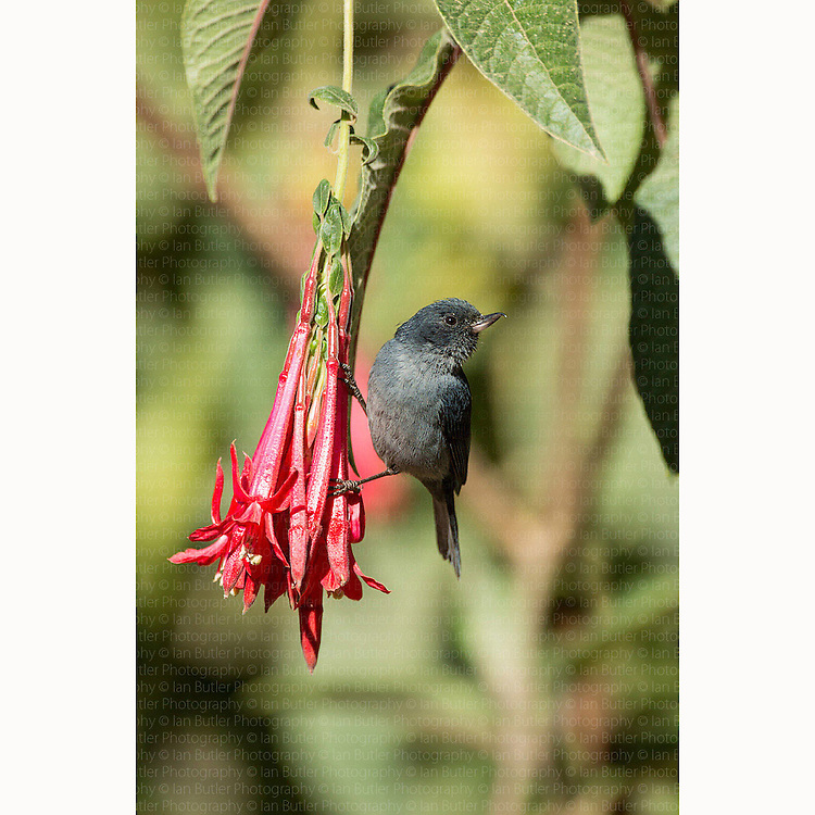 Adult male Slaty Flowerpiercer (Diglossa plumbea) feeding from Fuchsia (Fuchsia sp) flowers in San Gerardo de Dota, Costa Rica, March, 2014.