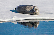 Harp seal in the Arctic shelf, Svalbard, Arctic