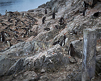 Gentoo Penguin nesting site at the Argentine Brown Scientific Station in Antarctica. Image taken with a Leica T camera and 18-56 mm lens (ISO 100, 56 mm, f/16, 1/160 sec).