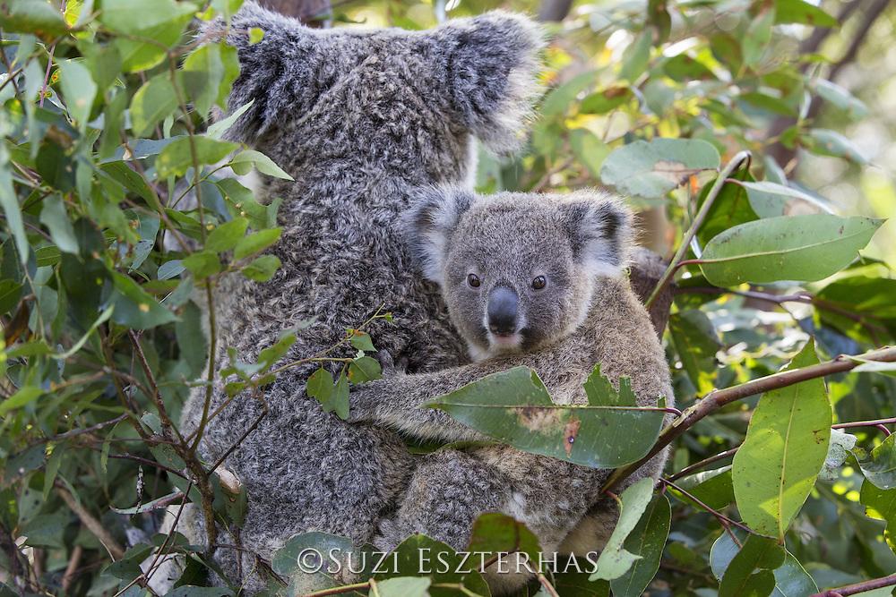 Koala <br /> Phascolarctos cinereus<br /> Ten-month-old joey<br /> Queensland, Australia<br /> *Captive