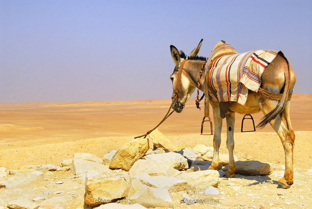 A worn out tourist donkey waits in the desert sun at the Pyramids of Giza, Egypt..(Pyramids not visible)