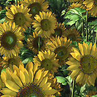 Even if sunflowers aren't your very favorite flowers, it is impossible to not be impressed by the detail and unrestrained beauty of this scene. Dozens of sunflowers are leaping out to greet you. Look at this piece closely enough, and you will almost be able to feel their warmth reaching out for your body and spirit. These flowers have long been popularized in poetry and art. This is an ideal opportunity for anyone who wants fine art that truly knows how to appreciate nature. Available as t-shirts, wall art, or as interior décor products. .<br />