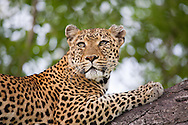 A female leopard (Panther pardus) gazes up while sitting in a tree in Kruger National Park, South Africa. http://www.gettyimages.com/detail/photo/leopard-in-tree-south-africa-high-res-stock-photography/96621903