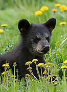 Portrait of a Black Bear (Ursus americanus) cub eating dandelions, Arctic Valley.