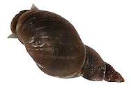 Great Pond Snail - Lymnaea stagnalis