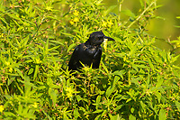 Boat-tailed Grackle (Quiscalus major), Arthur R Marshall National Wildlife Reserve - Loxahatchee, Florida, USA with grub   Photo: Peter Llewellyn