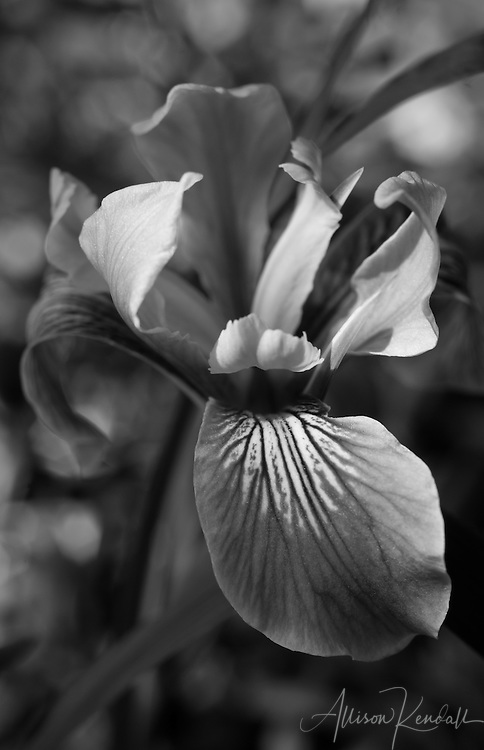 Delicate petals of an iris take on sculptural form