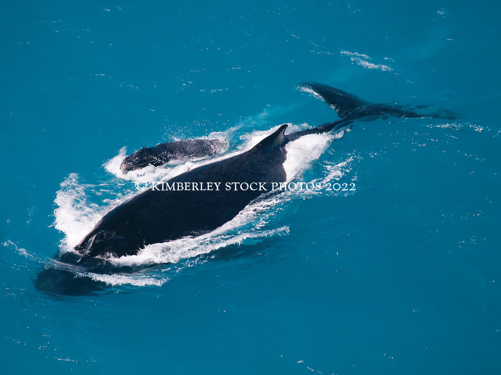 A humpback whale cow and calf cruise on the surface just off Broome's Cable Beach in Western Australia's Kimberley region.  A signficant number of whales are now calving off Broome.