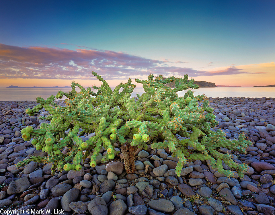 A fruit bearing Cholla cactus makes it home on the rugged cobble shoreline of the Sea of Cortez near Agua Verde, Mexico.