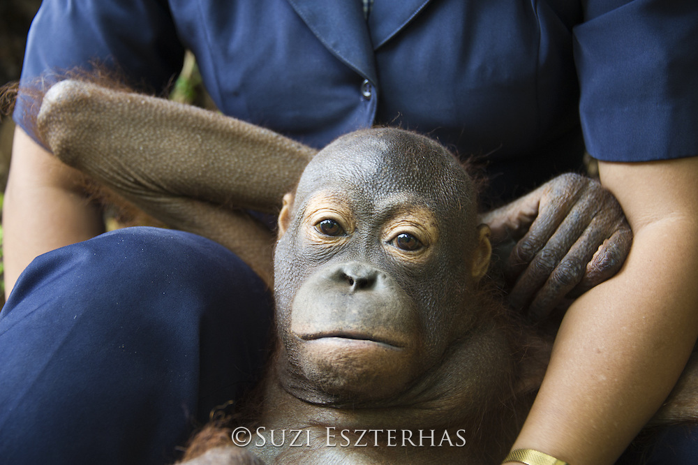 Bornean Orangutan<br /> Pongo pygmaeus<br /> Sick juvenile (approx. 5 years old) resting on caretaker's lap during forest exploration and training program<br /> Orangutan Care Center, Borneo, Indonesia