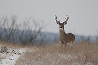 whitetail buck in the snow.