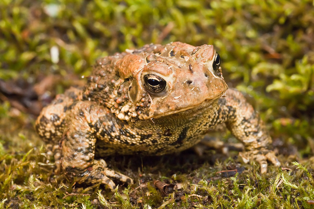 American toad, Bufo americanus, native to eastern USA and Canada