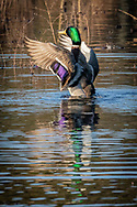 A male mallard flaps his wings in a flooded cranberry bog.