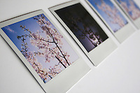 Polaroid photograph prints of cherry blossom tree in bloom with one image underexposed