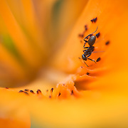Closeup of an ant crawling inside a daylily.