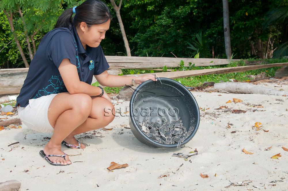 Green Sea Turtle, Chelonia mydas, Volunteer releasing hatchlings, Mataking Island, Sabah, Borneo, Malaysia