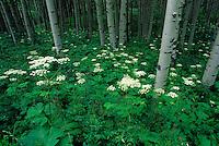 Cow Parsnips [Heracleum lanatum] carpeting Aspen [Populus tremuloides] grove in summer; Kebler Pass, Colorado