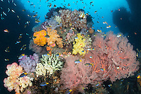 Demoiselles swarm around vibrant Hard and Soft Corals<br /> <br /> Shot in Indonesia