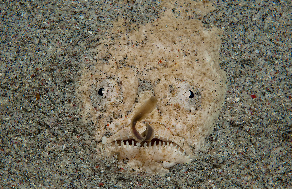 White Margin Stargazer (Uranoscopus sulphureus) in Komodo National Park, Indonesia. This ambush predator lies buried in the sand and uses its ribbon-like tongue to lure fish to its teeth-lined mouth.