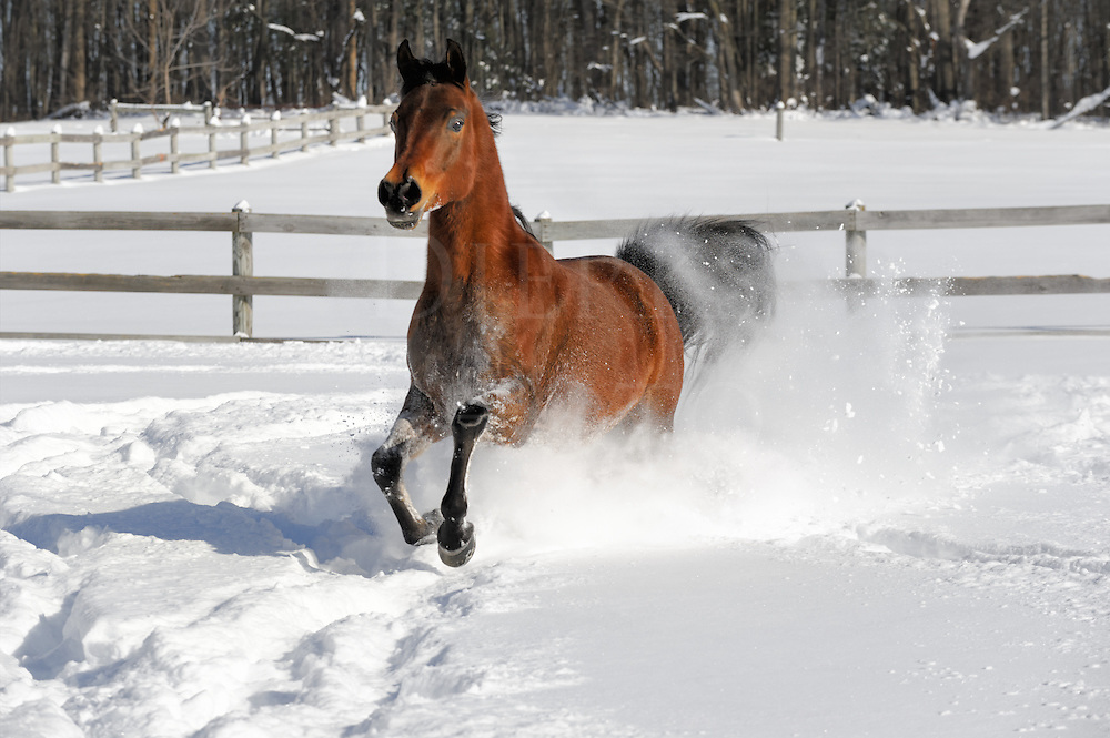 Horses in new snow are the equine equivalent of a kid with a new sled on a snow day off from school...they simply love to rip in it! This exuberant four year old Arabian stallion was truly enjoying himself making the 28 inches of powder snow fly into white smoke, and further enjoyed himself by buzzing me less than a yard away with each round-and-round pass he made in the small paddock. He was just out to have some fun and never knocked me over, but those close passes can be a little unsettling even for those who know horses. A lively bay horse with black hooves slashing the deep snow in bright sunlight...I was having quite the good time myself as a shooter!<br />
