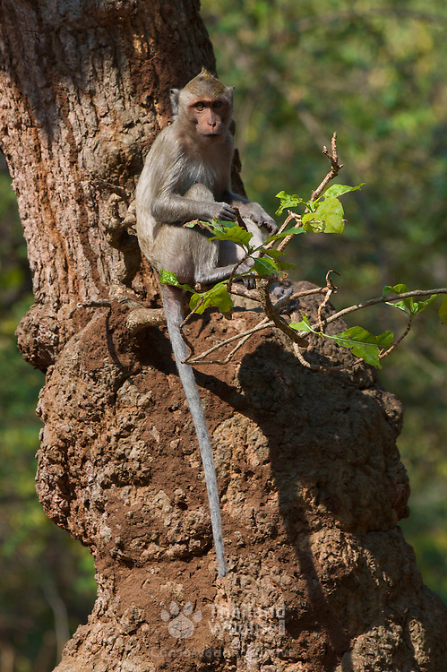 Scenes of Wat Tham Talu, Ratchaburi, Thailand.Long-tailed macaque, Macaca fascicularis, Thailand