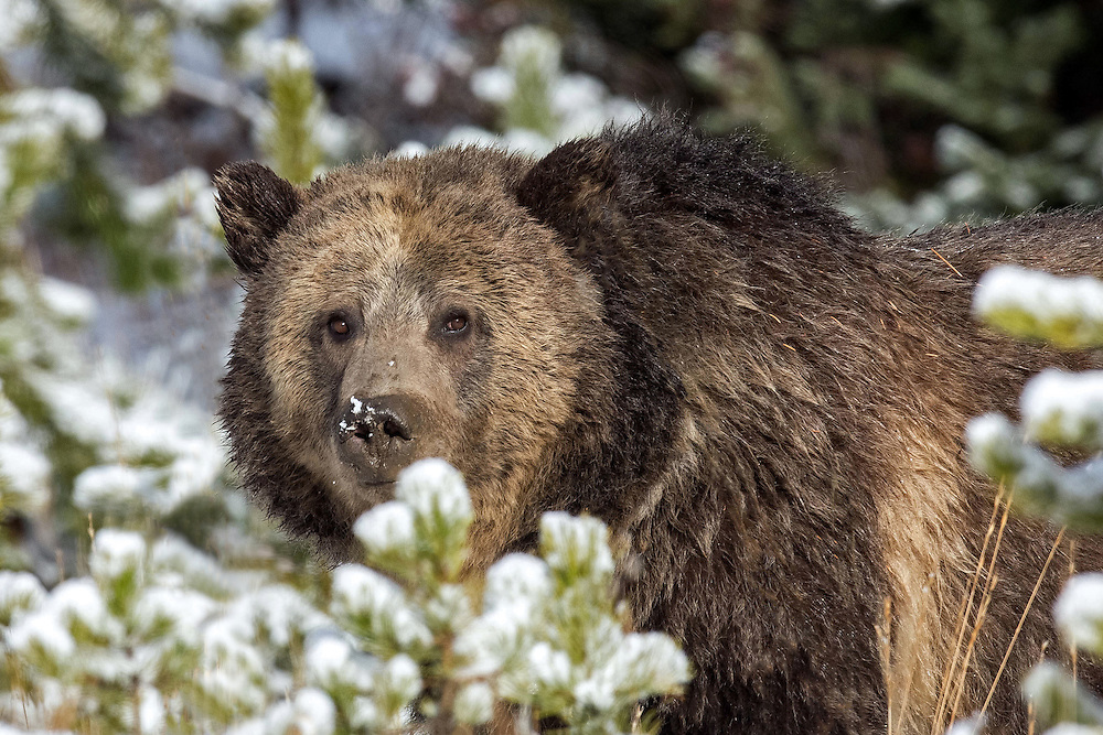"""The grizzly sow, known as Raspberry, forages for some much needed caloric intake during the first snowstorm of the season. Bears spend most of their time feeding, especially during """"hyperphagia,"""" the period in autumn when they may gain more than three pounds a day until they enter their dens to hibernate."""