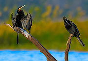 Pair of African Darter - Anhinga rufa sitting on branches, one with wings spread drying and the other one preening