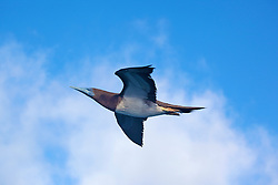 A Brown Booby (Sula leucogaster) in flight