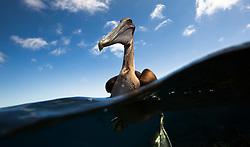 Juvenile Brown Pelican (Pelecanus occidentalis) in Galapagos
