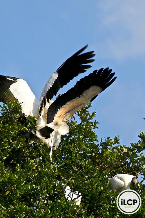 USA, Florida, wild Wood stork pair. endangered
