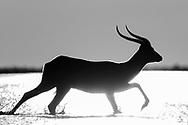 Endemische Schwarze Lechwes (Kobus leche smithemani) aus den Bangweulu Swamps im n&ouml;rdlichen Sambia.<br /> <br /> Der Letschwe (Kobus leche) ist eine afrikanische Antilope aus der Gattung der Wasserb&ouml;cke. Andere Schreibweisen sind Lechwe (wie im Englischen) oder Litschi.