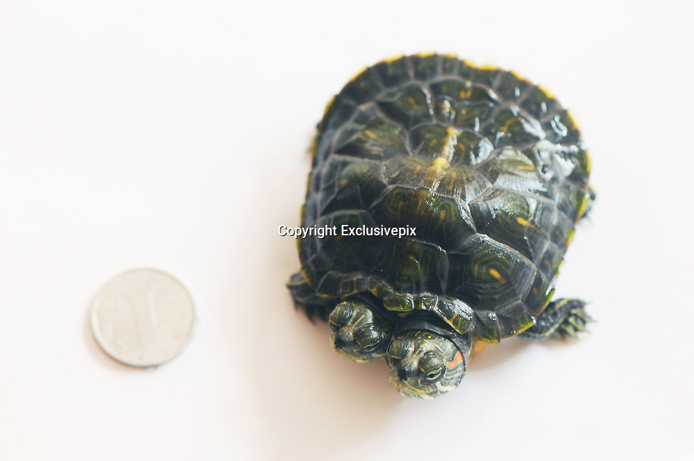 QINGDAO, CHINA - JANUARY 15:  China Out<br /> <br /> A Turtle Has Two Heads <br /> <br /> Photo shows a turtle who has two heads and two stomachs on January 15, 2014 in Qingdao, Shandong Province of China. <br /> &copy;Exclusivepix