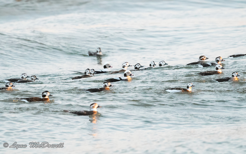As the tide was rolling in, the Long-tailed Duck flock rode the waves at sunset.  Indian River Inlet