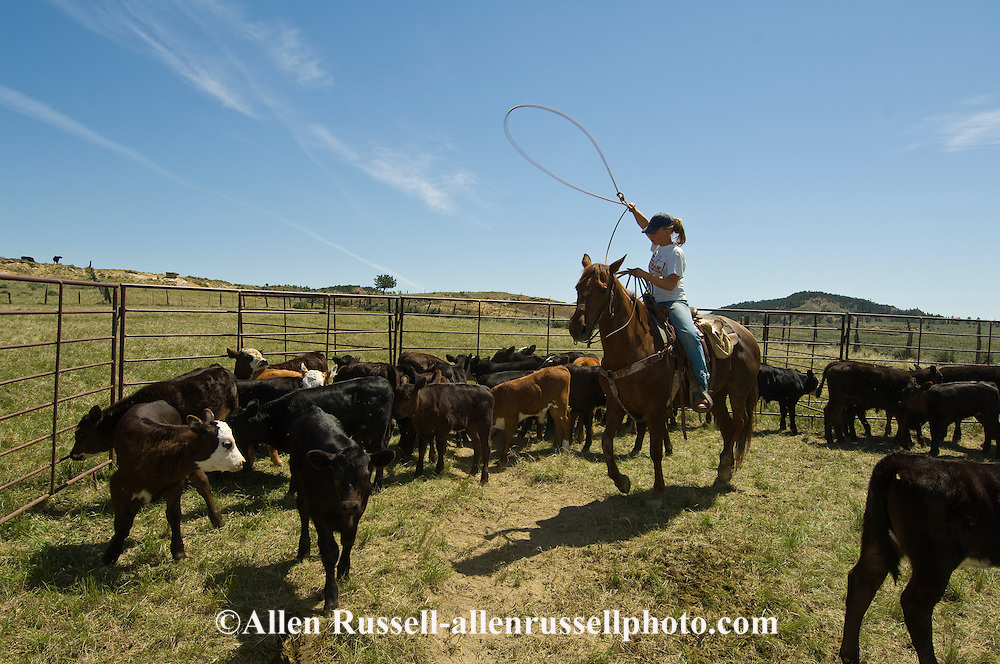 Teenage Cowgirl drags calves to fire at branding, east of Miles City, Montana