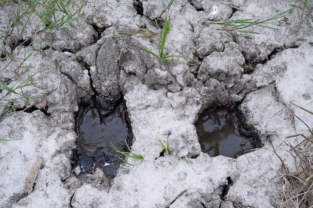 Firm ground with cattle footprint on Hortobagy National Park, Hungary