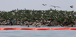 28 May 2010. Barataria Bay to Grand Isle, Jefferson/Lafourche Parish, Louisiana. <br /> Brown Pelicans, protected by freshly laid oil boom cram every inch of a small outcrop of Cat Island in Barataria Bay. The ecological and economic impact are devastating to south louisiana. Oil from the Deepwater Horizon catastrophe is evading booms laid out to stop it thanks in part to the dispersants which means the oil travels at every depth of the Gulf and washes ashore wherever the current carries it. The Louisiana wetlands produce over 30% of America's seafood and are the most fertile of their kind in the world.<br /> Photo credit; Charlie Varley<br /> www.varleypix.com