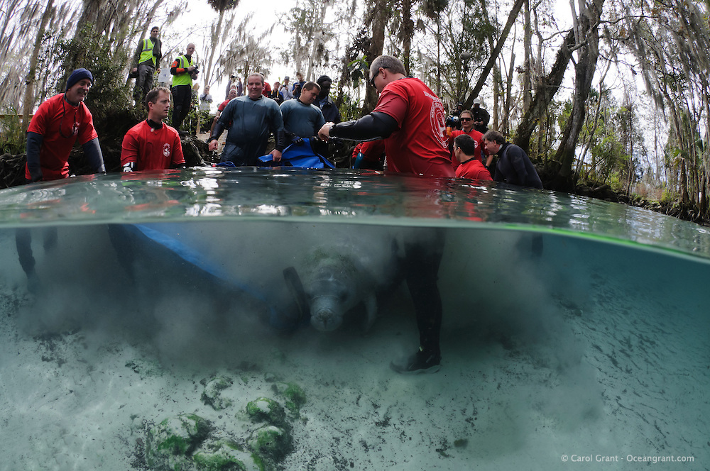 Florida manatee, Trichechus manatus latirostris, a subspecies of the West Indian manatee, endangered. February 13, 2012 there are releases of three rehabilitated manatees back into the wild. This is Krystal, the third of the releases. She is very timid at first but begins to exit the stretcher towards freedom. Krystal has a tracking buoy attached. Personnel from United States Fish and Wildlife Services and four other parties conduct the successful release.  Horizontal orientation split image. Three Sisters Springs, Crystal River National Wildlife Refuge, Kings Bay, Crystal River, Citrus County, Florida USA.