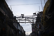 Macaques crossing the streets using the wires between buildings