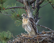 Fully feathered nestling red-tailed hawk stands on one foot looking out at the early morning, © 2011 David A. Ponton, [Prints to 8x10, 16x20, 20x24 or 24x36 in. with no cropping]