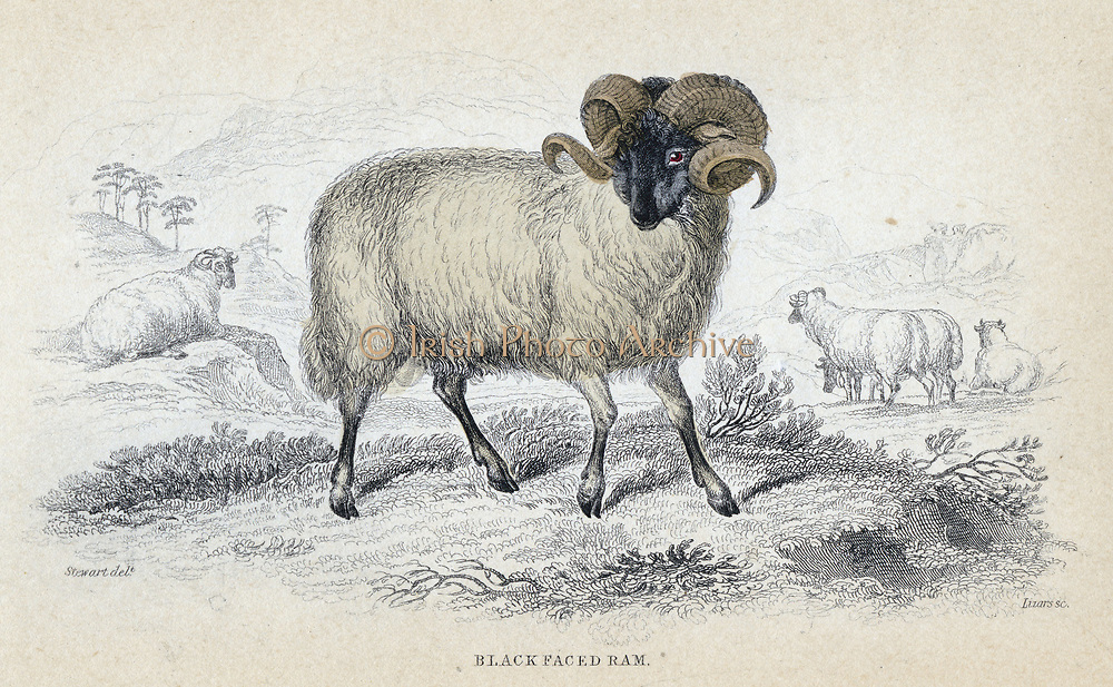 Black faced ram. Hardy breed of sheep with good wool. Particularly popular in Scotland. Hand-coloured engraving from 'Naturalist's Library' series, 1833-1845.