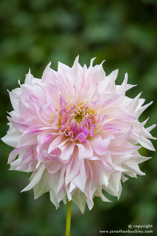 Dahlia Seedling 13-13 from Cafe au Lait