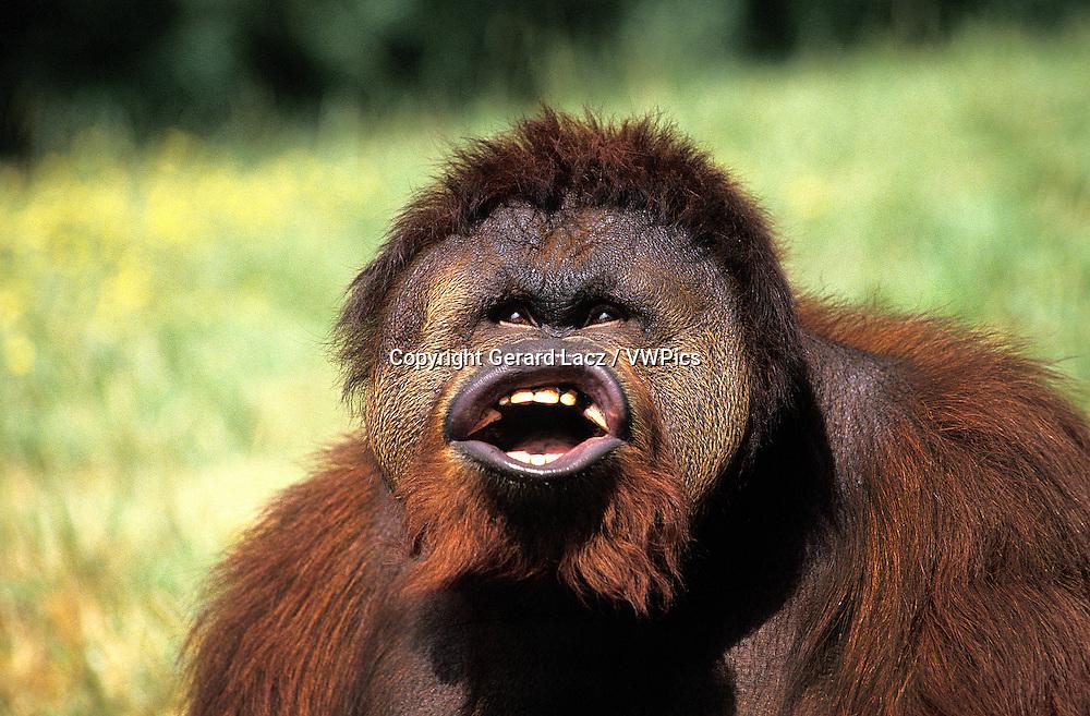 Orang utan, pongo pygmaeus, Male with Funny Face