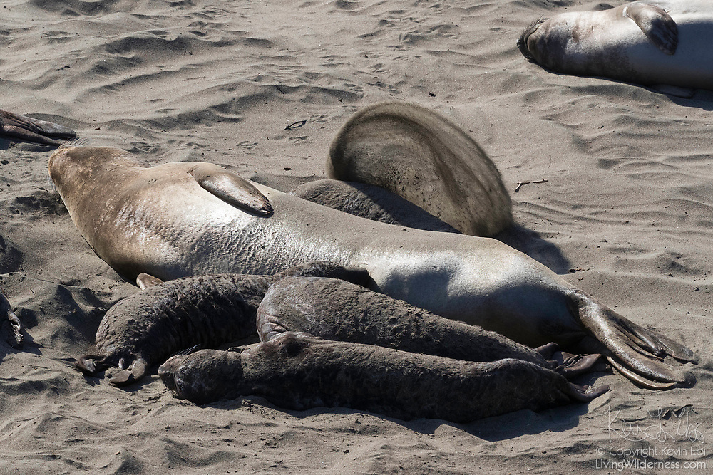 Several elephant seal (Mirounga angustirostris) pups cuddle up next to a female elephant seal on the beach at the Piedras Blancas Elephant Seal Rookery near San Simeon, California. Elephant seals typically spend 9 months at sea, coming to shore only to give birth, mate and molt. Elephant seals are named for the long snouts, called proboscis, that male seals develop. The Piedras Blancas Elephant Seal Rookery is part of the Piedras Blancas State Marine Reserve and Marine Conservation Area, managed by California.